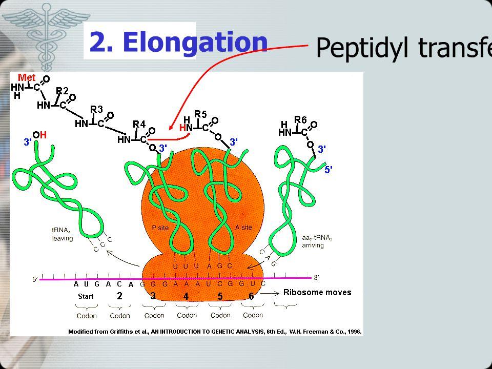 2. Elongation Peptidyl transferase