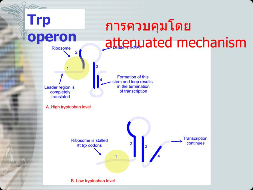 Trp operon การควบคุมโดย attenuated mechanism