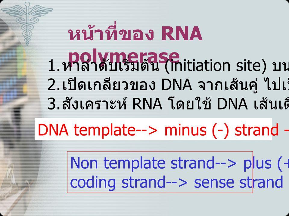หน้าที่ของ RNA polymerase