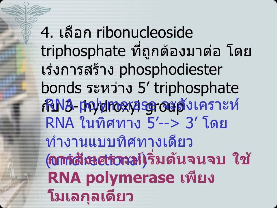 4. เลือก ribonucleoside triphosphate ที่ถูกต้องมาต่อ โดยเร่งการสร้าง phosphodiester bonds ระหว่าง 5' triphosphate กับ 3- hydroxyl group