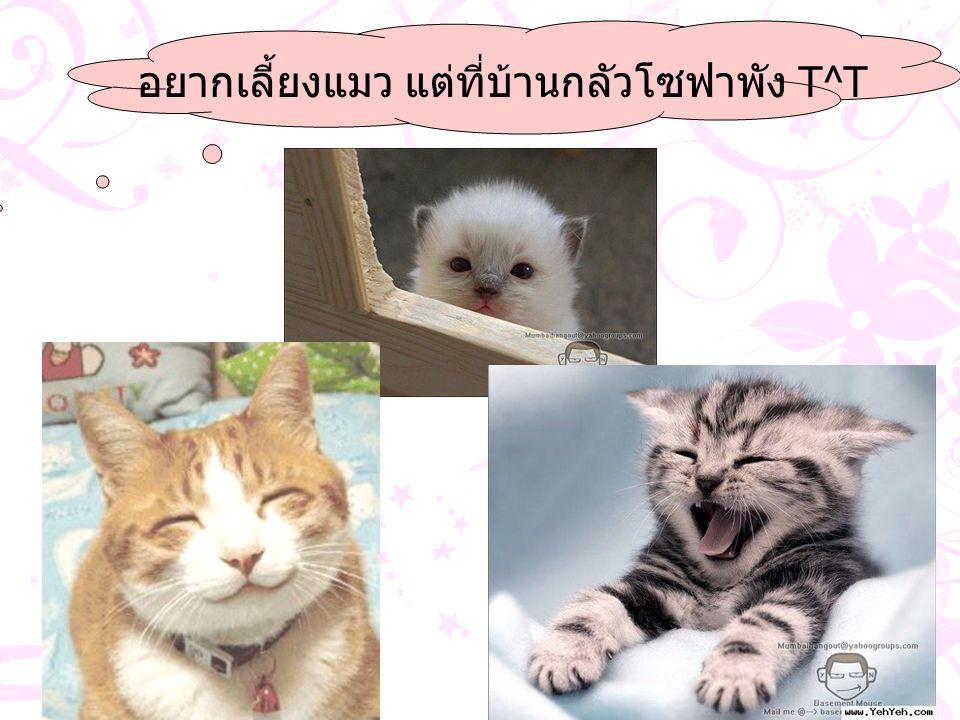 อยากเลี้ยงแมว แต่ที่บ้านกลัวโซฟาพัง T^T