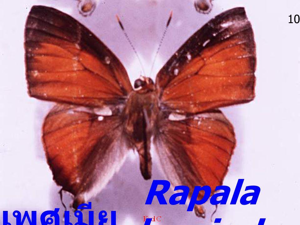 10 Rapala iarbus iarbus เพศเมีย