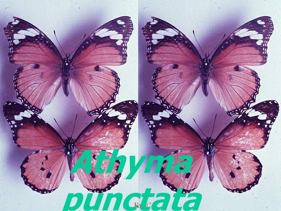 Athyma punctata prasobsuki