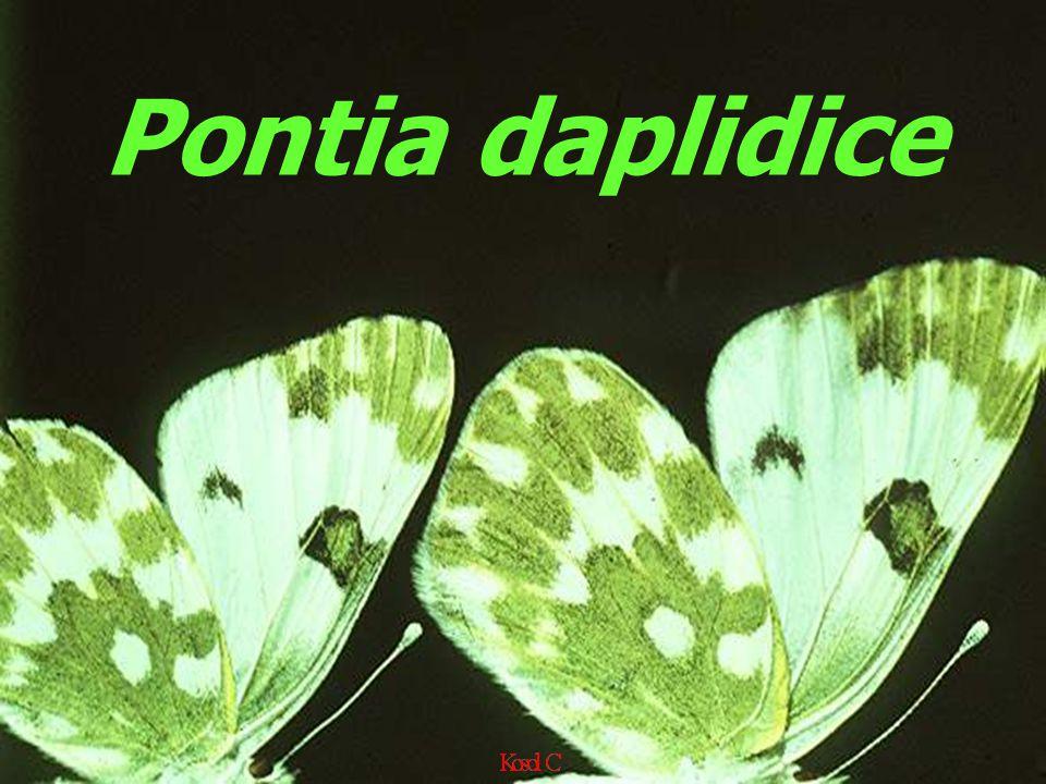 Pontia daplidice