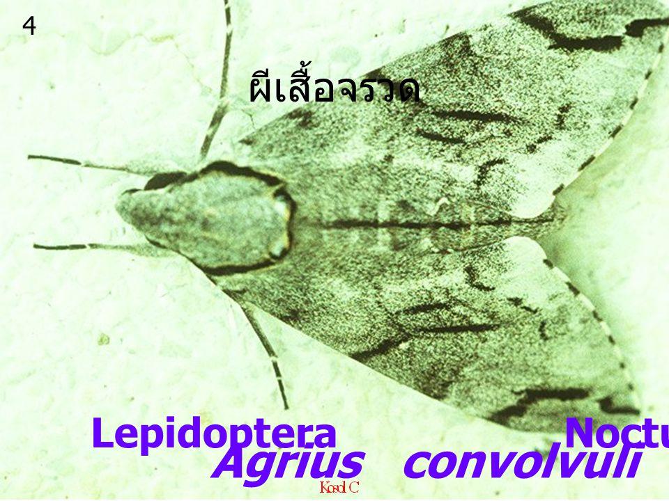 4 ผีเสื้อจรวด Lepidoptera Noctuidae Agrius convolvuli