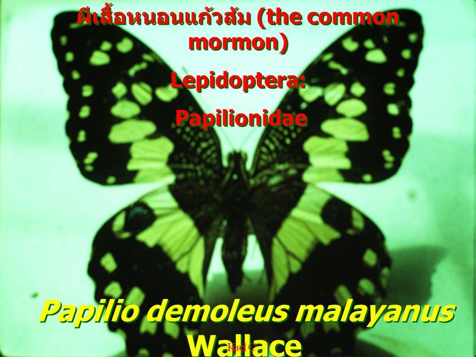 Papilio demoleus malayanus Wallace