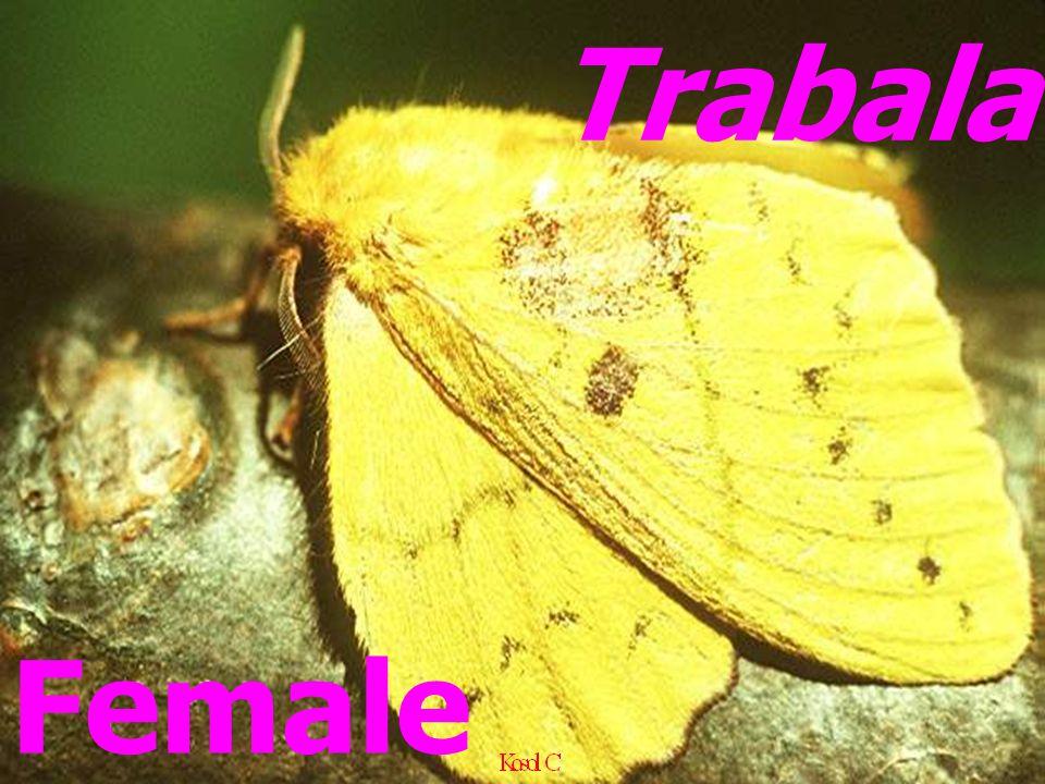 Trabala Female