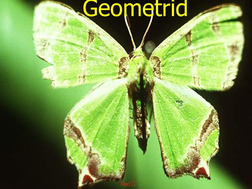 Geometrid