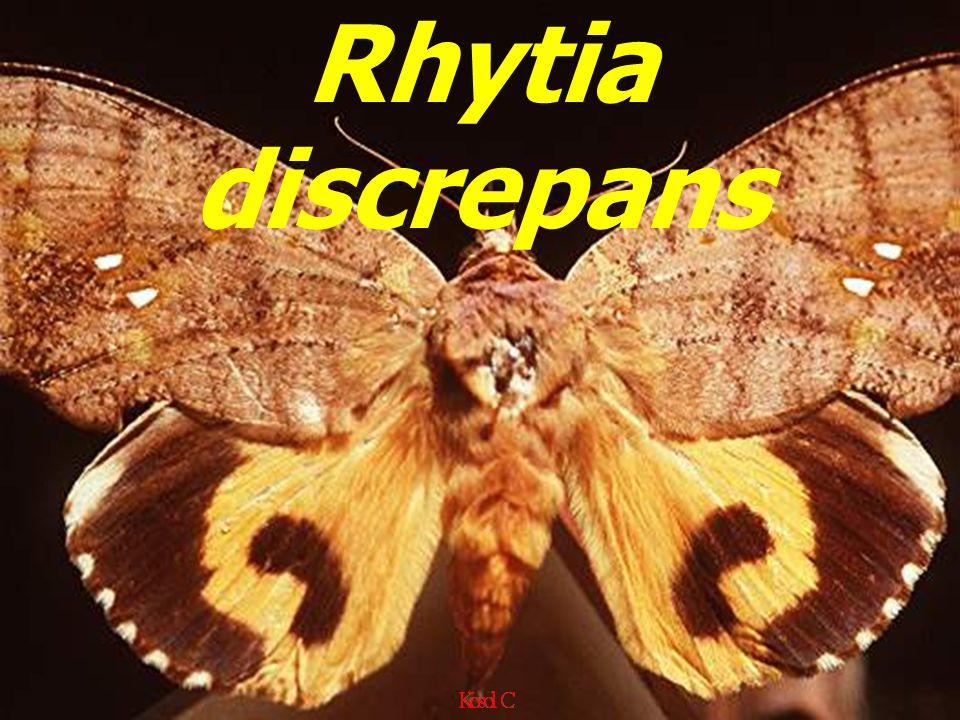 Rhytia discrepans