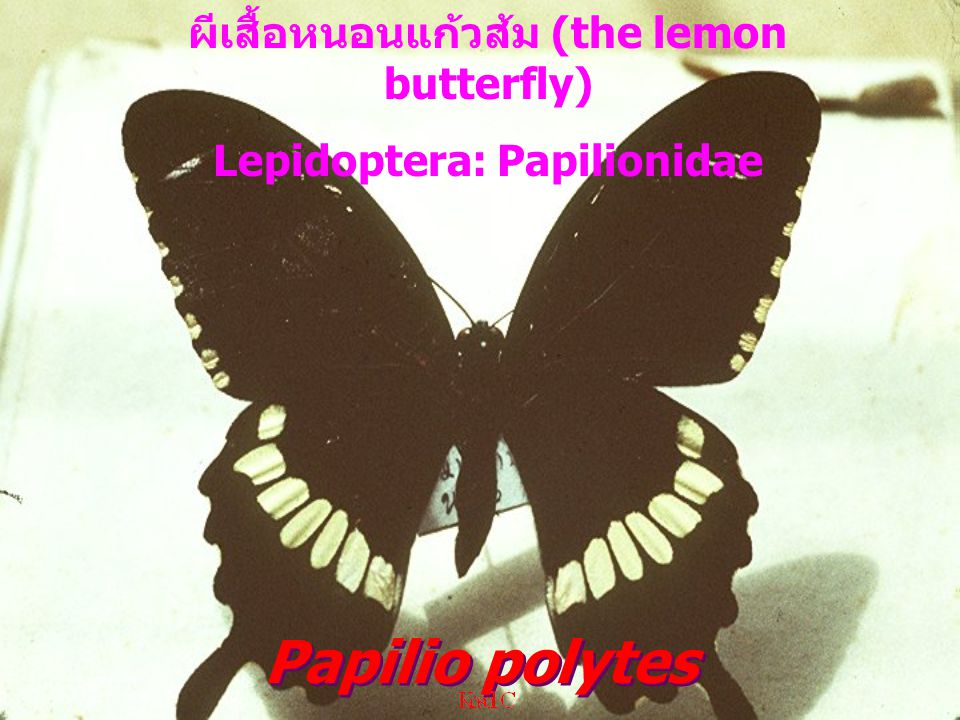 ผีเสื้อหนอนแก้วส้ม (the lemon butterfly) Lepidoptera: Papilionidae