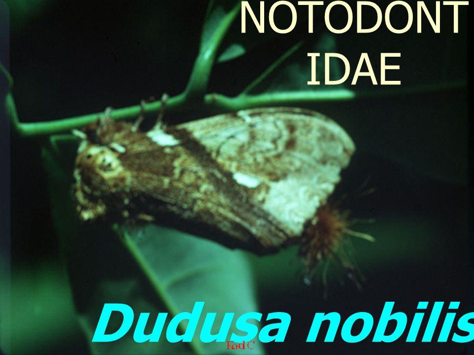 NOTODONTIDAE Dudusa nobilis: Adult