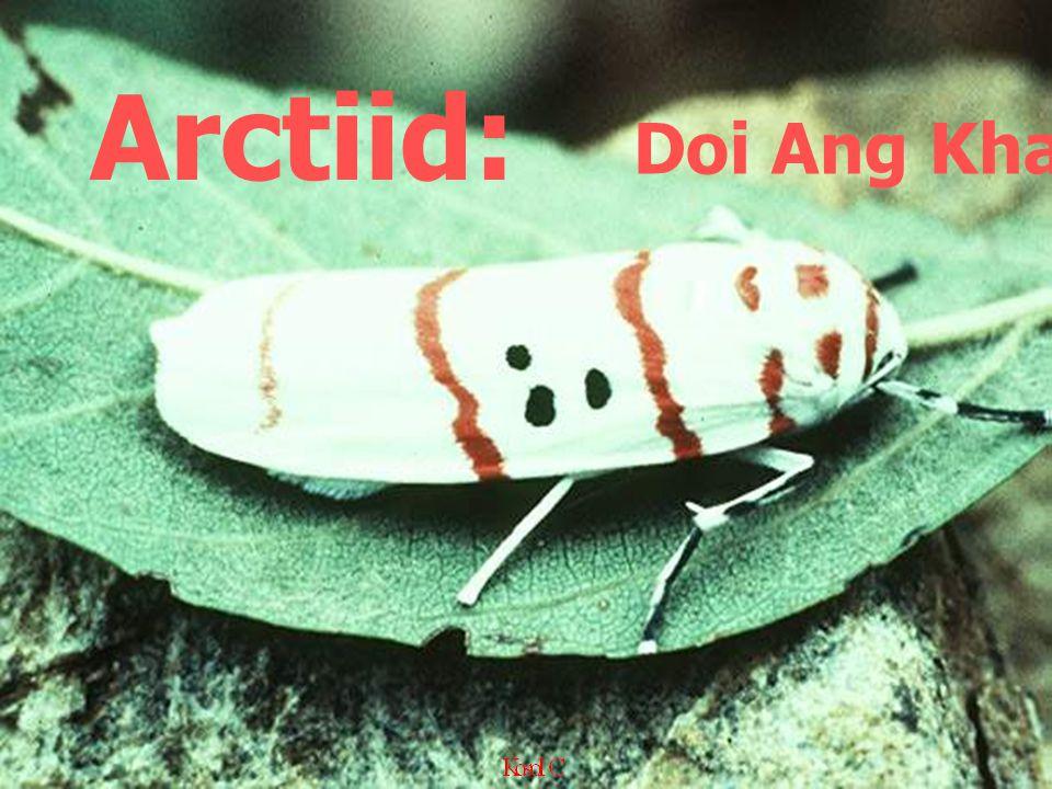 Arctiid: Doi Ang Khang,1976