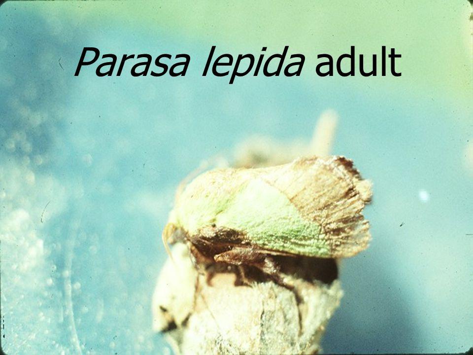 Parasa lepida adult