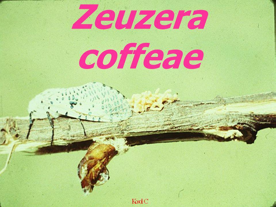 Zeuzera coffeae