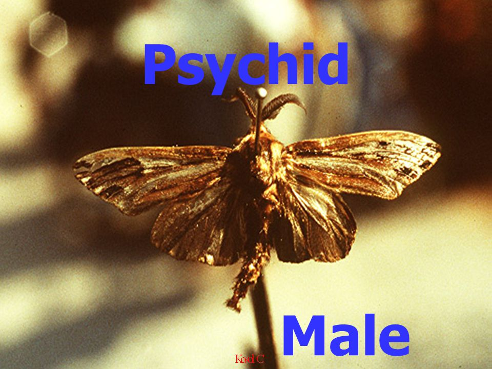 Psychid Male