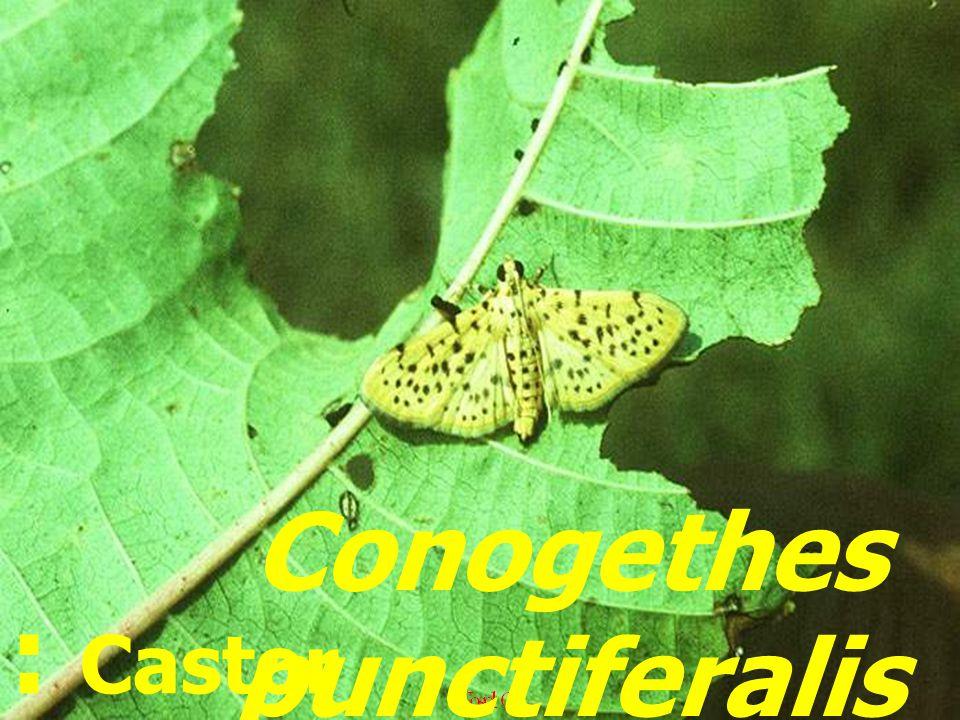 Conogethes punctiferalis