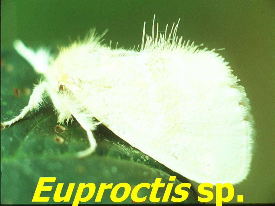 Euproctis sp.