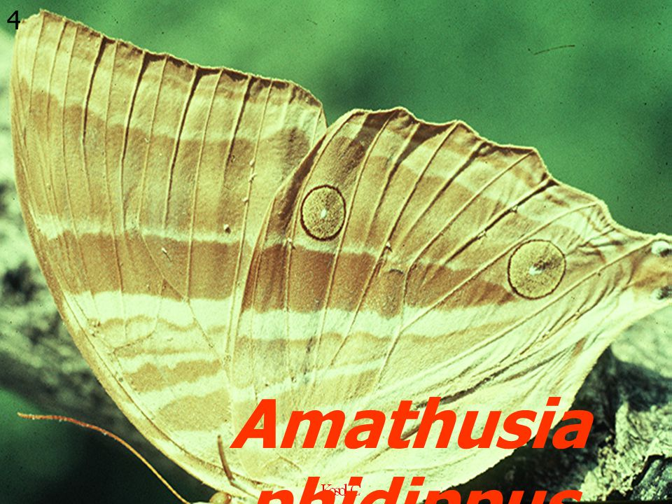 4 Amathusia phidippus