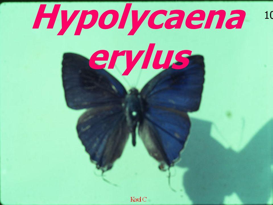 10 Hypolycaena erylus