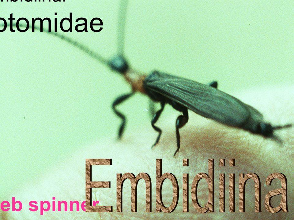 Embidiina: Oligotomidae