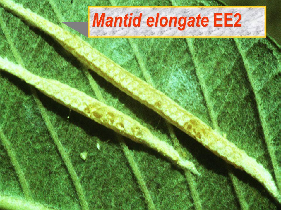Mantid elongate EE2