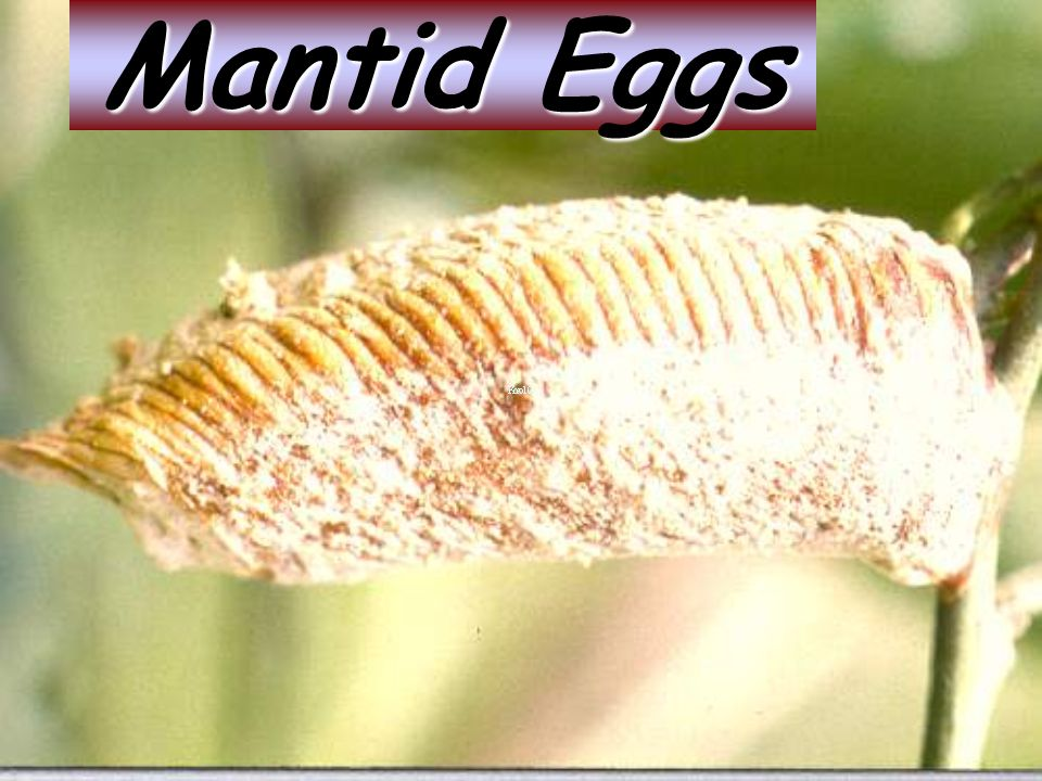 Mantid Eggs