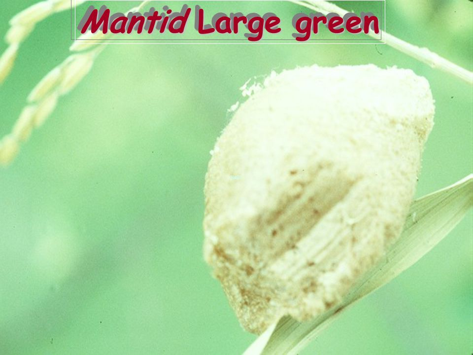 Mantid Large green