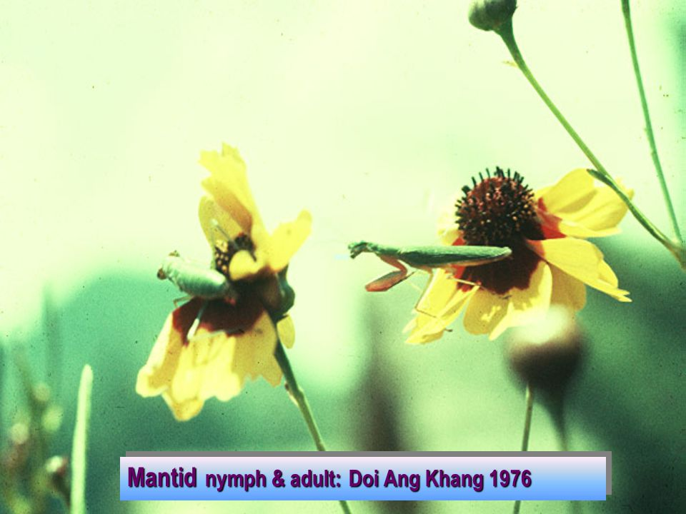 Mantid nymph & adult: Doi Ang Khang 1976