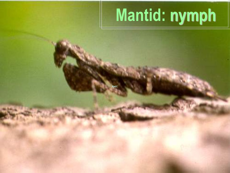 Mantid: nymph