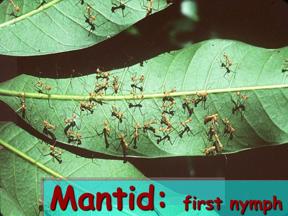 Mantid: first nymph