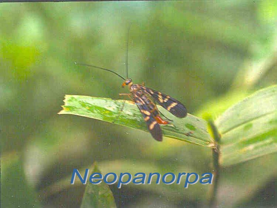 Neopanorpa