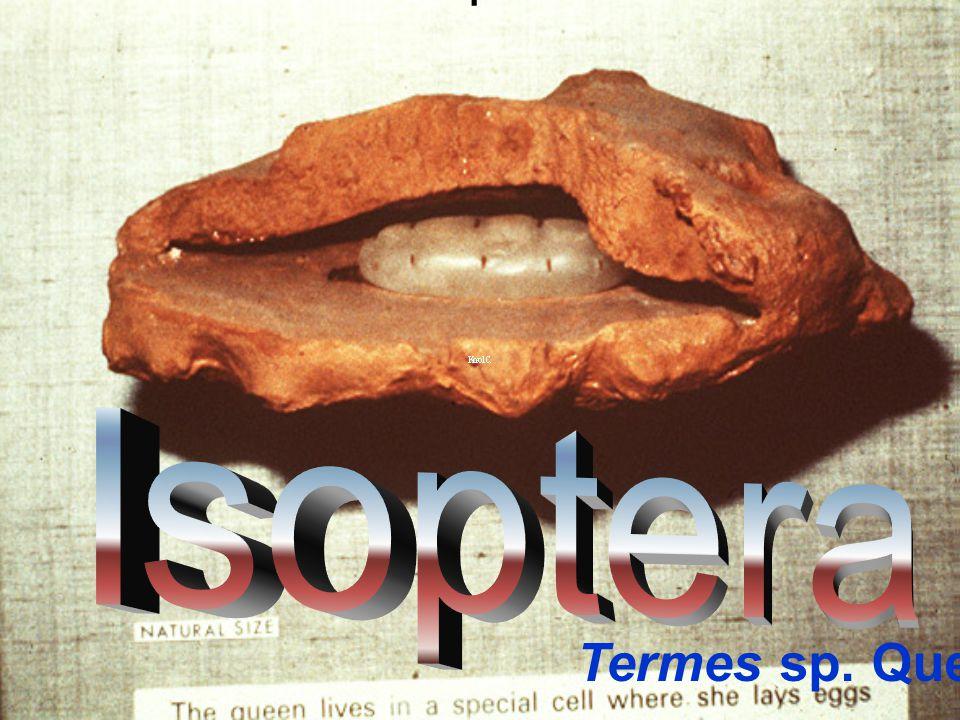 Isoptera Isoptera Termes sp. Queen