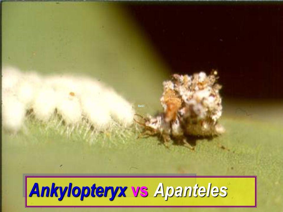 Ankylopteryx vs Apanteles