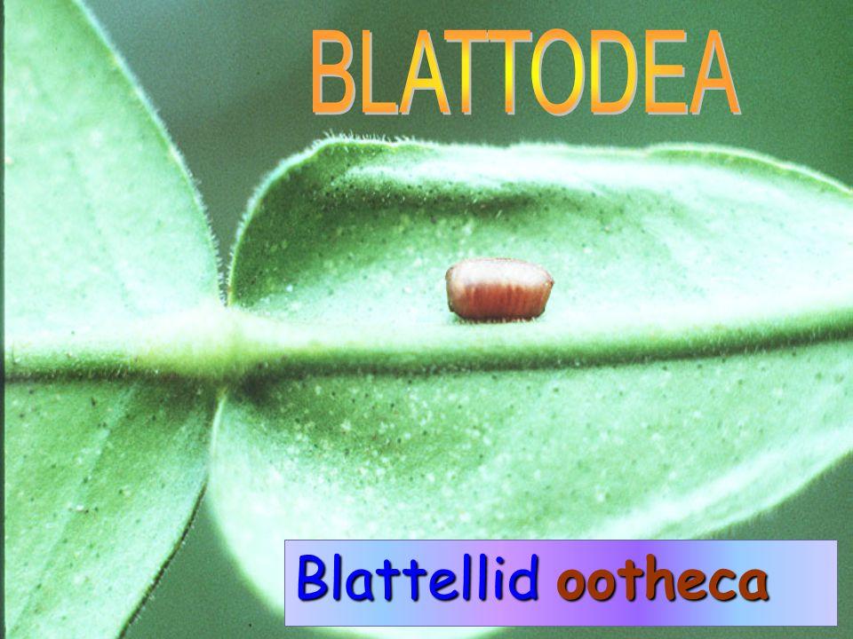 BLATTODEA Blattellid ootheca