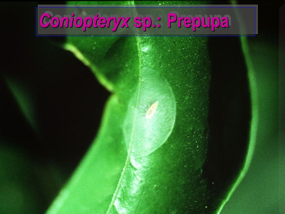 Coniopteryx sp.: Prepupa