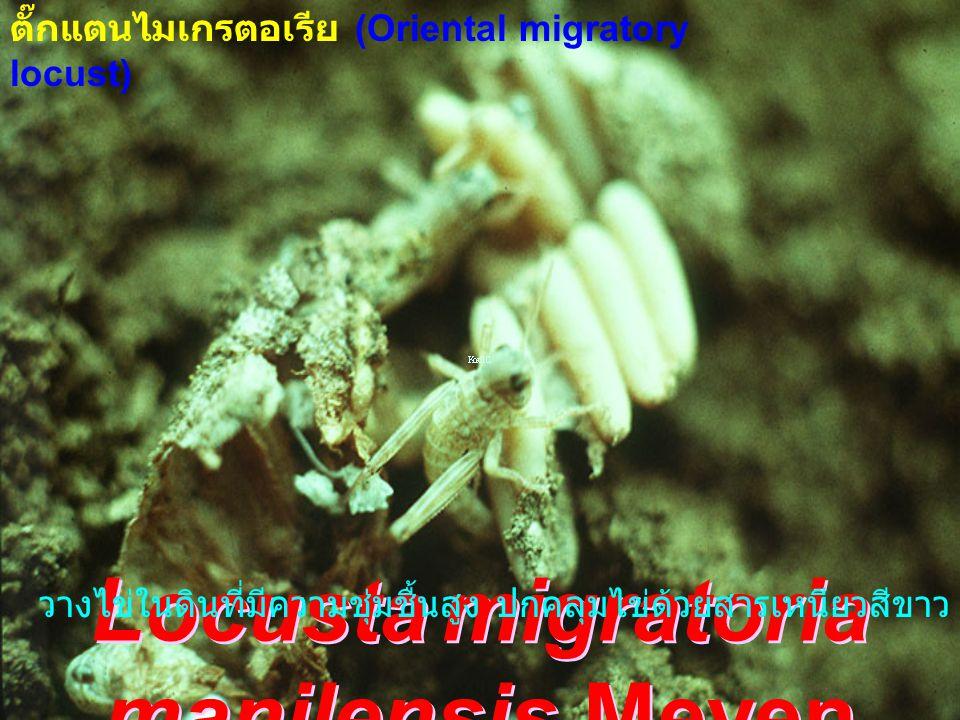 Locusta migratoria manilensis Meyen