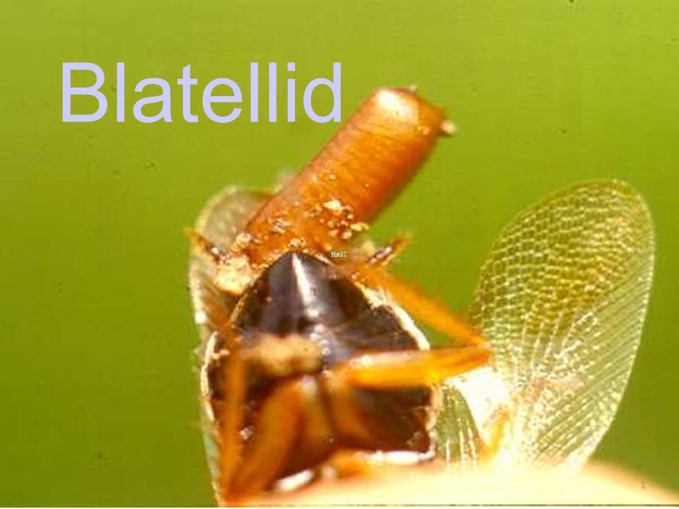 Blatellid