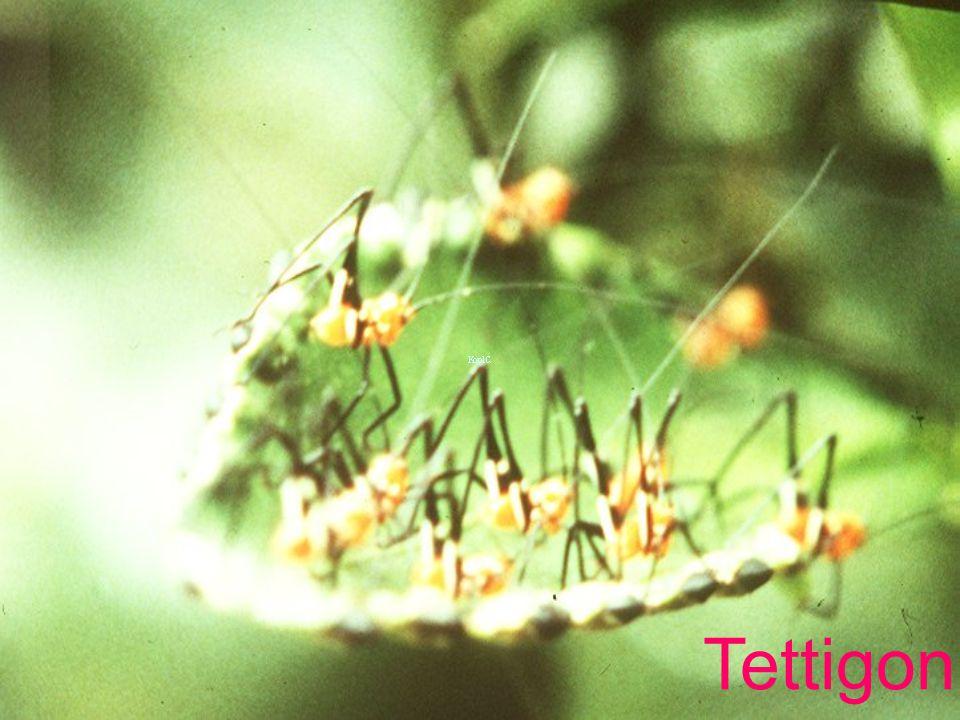 Tettigoniid
