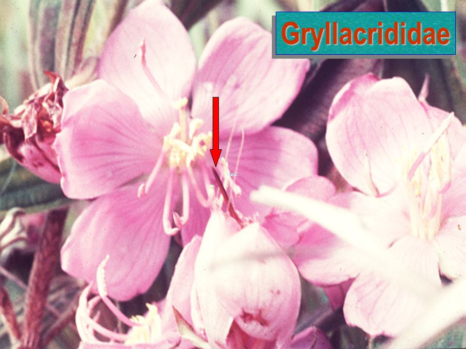 Gryllacrididae
