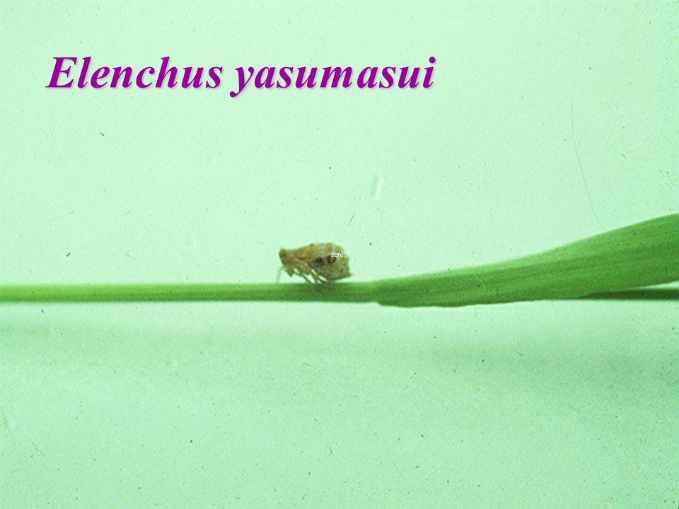 Elenchus yasumasui