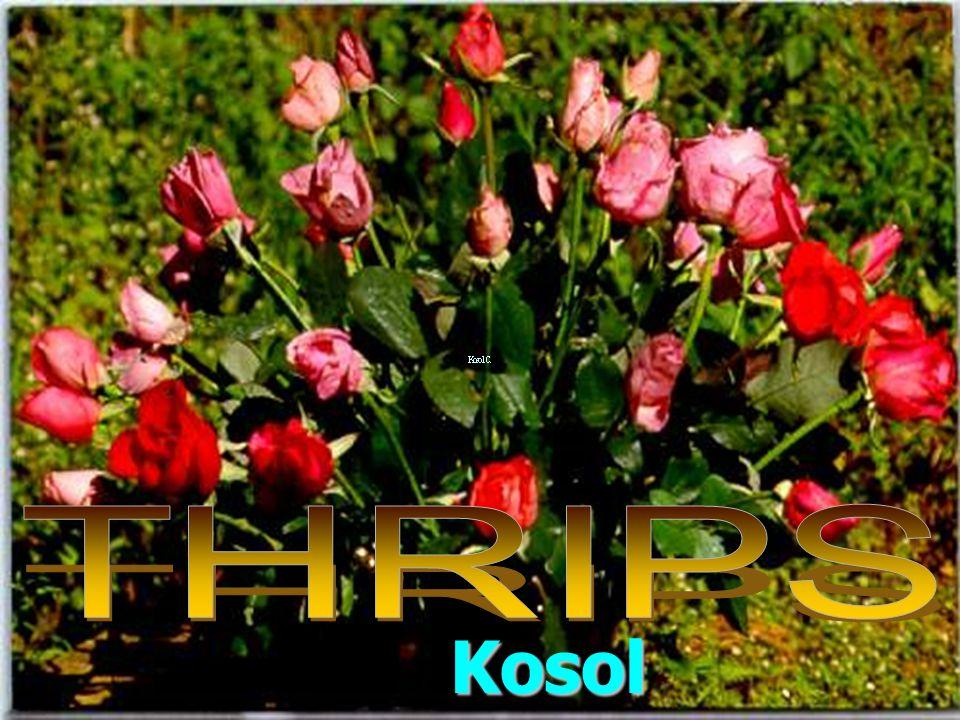 THRIPS Kosol Charernsom
