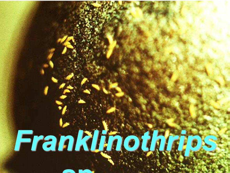Franklinothrips sp. Bang KLa