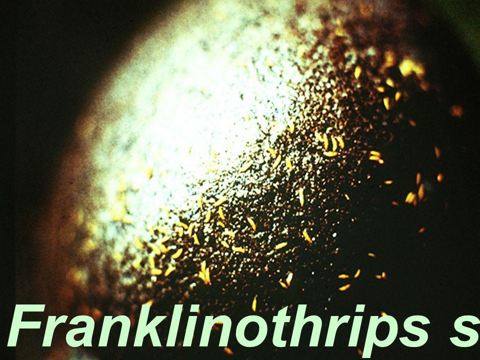 Franklinothrips schultzei