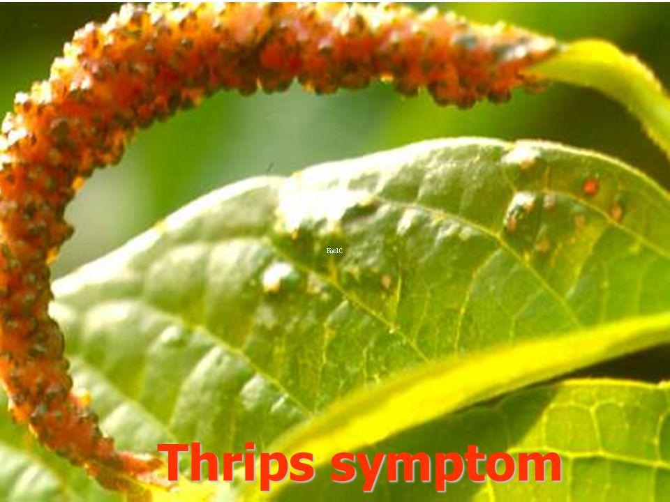 Thrips symptom