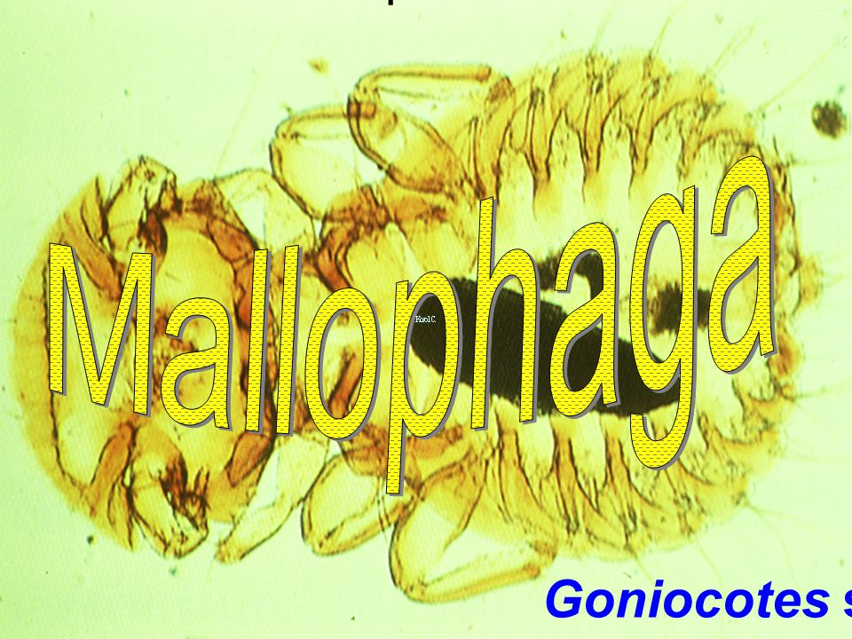 Phthiraptera Mallophaga Goniocotes sp.