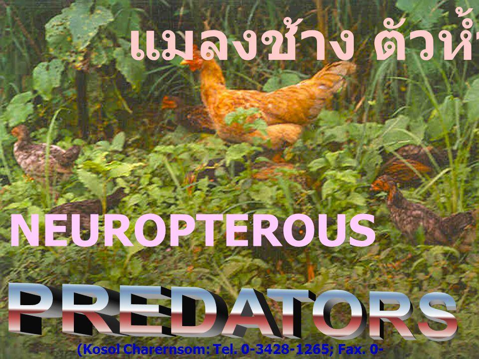 แมลงช้าง ตัวห้ำ NEUROPTEROUS PREDATORS