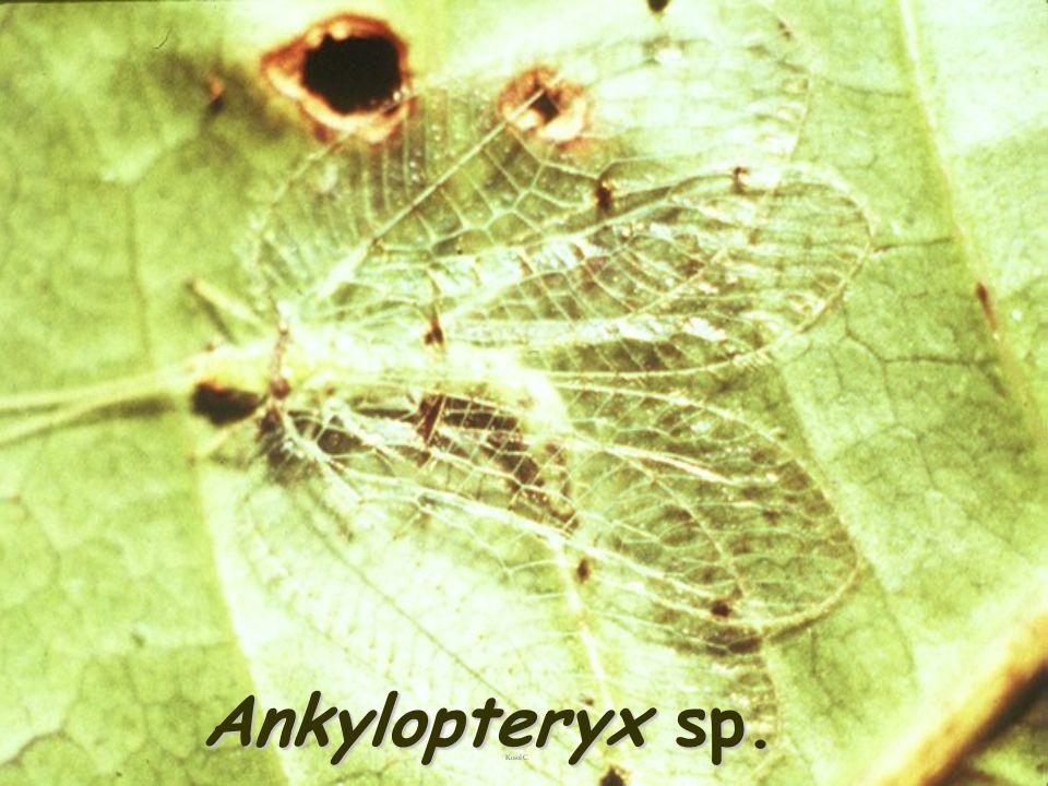 Ankylopteryx sp.