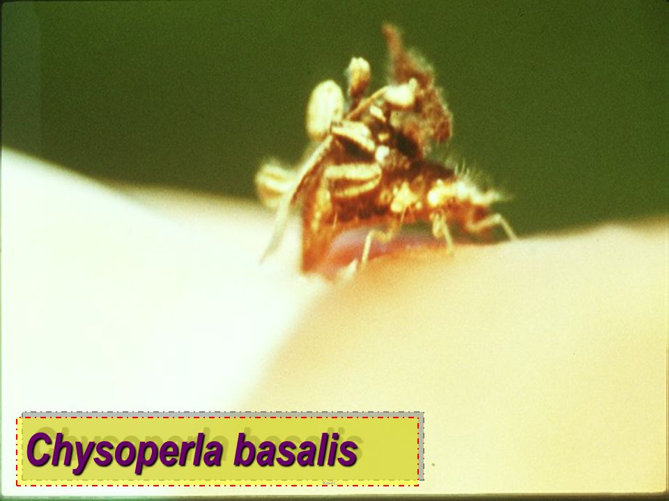 Chysoperla basalis