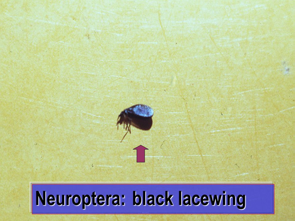 Neuroptera: black lacewing