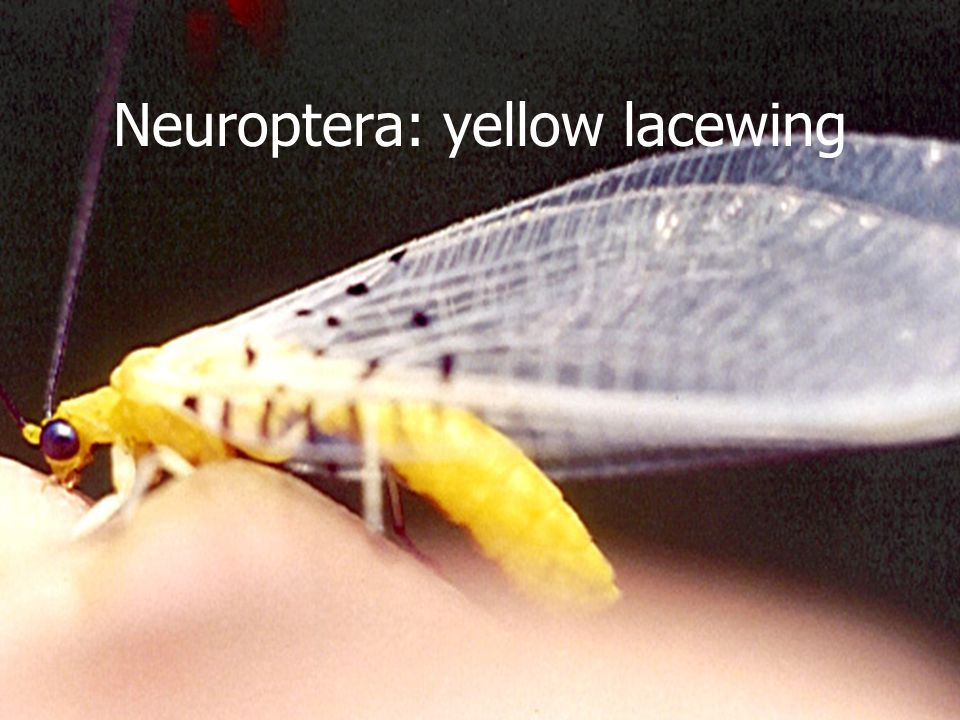 Neuroptera: yellow lacewing